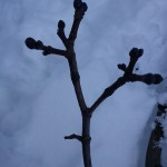 puiden hoitoleikkaus